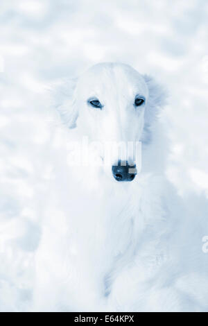 borzoi sight hound portrait set against pure white snow - Stock Photo