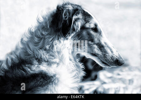 Russian Borzoi wolf-hound portrait - Stock Photo