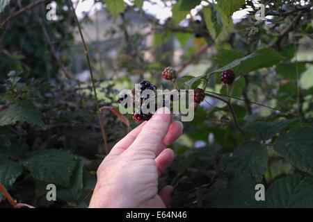 female hand picking blackberries brambles hedgerow - Stock Photo