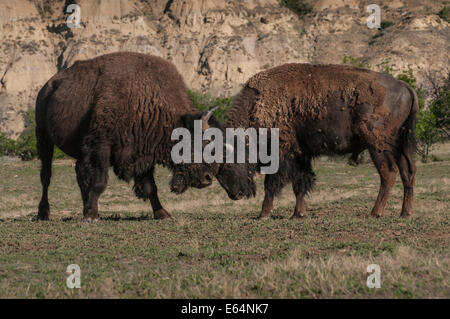 American Bison sparring Theodore Roosevelt National Park, North Dakota. - Stock Photo