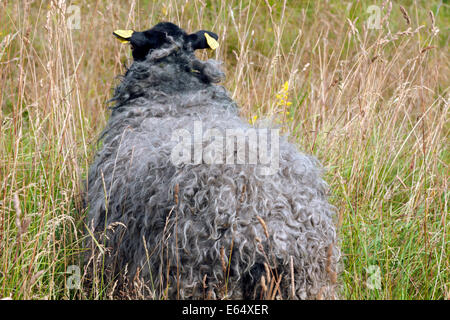 Gotland sheep roaming free at the ancient Iron Age burial ground at Pilane, Klövedal, Sweden. - Stock Photo