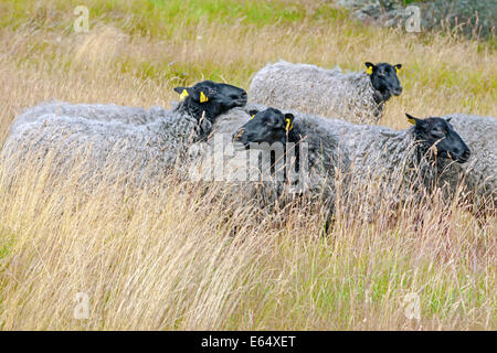 Gotland sheep roaming free on the gently rolling hills of the ancient Iron Age burial ground at Pilane, Klövedal, - Stock Photo