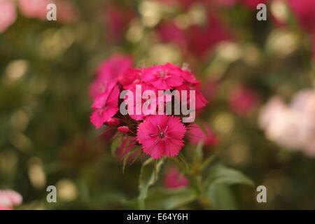 Sweet William flowers, Dianthus barbatus close-up. - Stock Photo