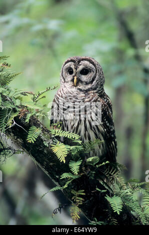 Barred Owl (Strix varia), Florida, United States - Stock Photo
