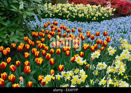 Tulips (Tulipa hybrids), daffodils (Narcissus hybrids) and Grape Hyacinths (Muscari botryoides) in Keukenhof, also - Stock Photo
