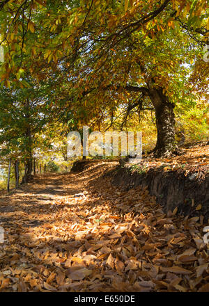 Sweet Chestnut (Castanea sativa) in autumn, Genal river valley, Málaga province, Andalusia, Spain - Stock Photo