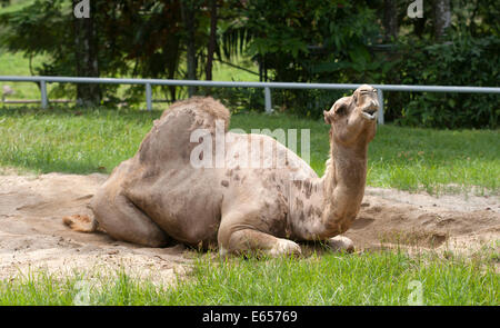 Dromedary one humped camel Camelus dromedarius - Stock Photo