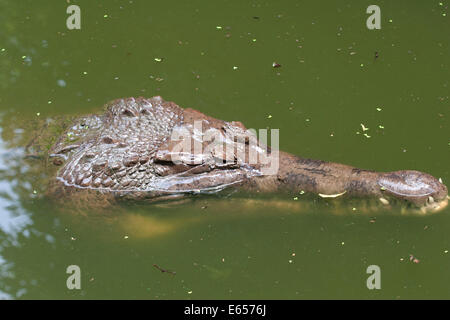 Saltwater crocodile (Crocodylus porosus) - Stock Photo