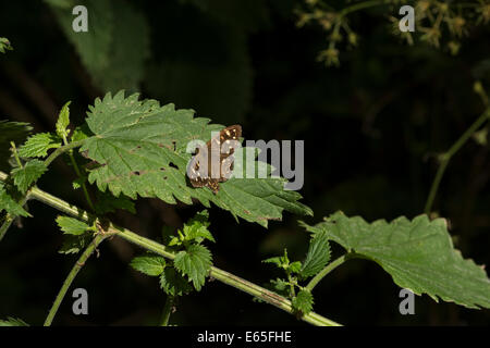 Butterfly settled on a nettle leaf in the summer sunshine. Believed to be a male Speckled Wood / Pararge aegeria. - Stock Photo