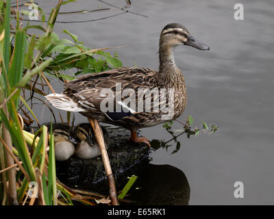 Female Mallard duck, Anas platyrhynchos standing over two ducklings, UK - Stock Photo