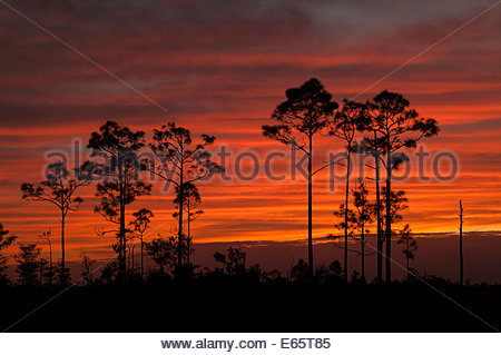 Several slash pine trees (Pinus elliotti) are rendered in silhouette as the sun sets over the Florida Everglades. - Stock Photo