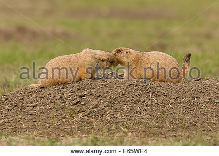 Black-tailed prairie dogs (Cynomys ludovicianus) kiss at the entrance to a burrow in Badlands National Park, South - Stock Photo