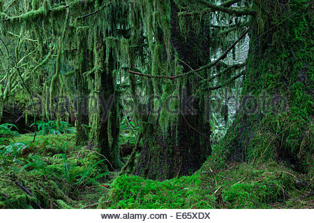 Heavy moss hangs from four old-growth sitka spruce trees in the Hoh Rain Forest in Olympic National Park, Washington. - Stock Photo