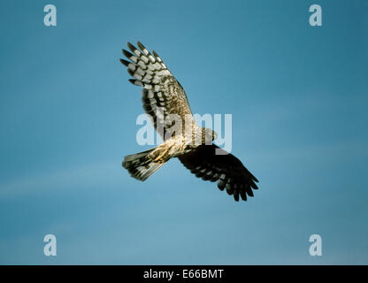 Hen Harrier - Circus cyaneus - Stock Photo