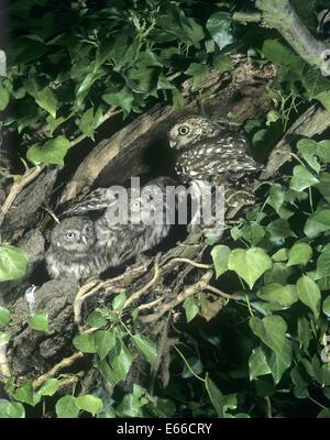 Little Owl - Athene noctua - at nest - Stock Photo