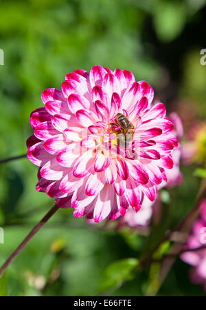 Colorful dahlia flower with bee - Stock Photo