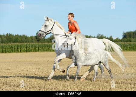 Woman riding bareback on a 23-year-old Bavarian horse, galloping in a stubble field and leading a pony - Stock Photo