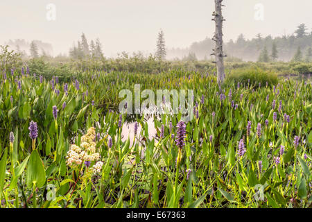Purple loosestrife flowers at Brown's Tract Inlet off foggy Raquette Lake in the Adirondack Mountains of New York - Stock Photo