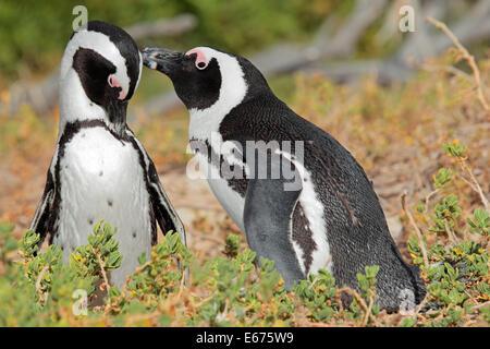 Breeding pair of African penguins (Spheniscus demersus), Western Cape, South Africa - Stock Photo