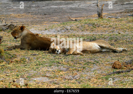 A pride of lions in Botswana, South Africa lazing about as lions do during daylight hours - Stock Photo