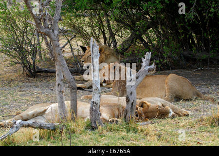 A pride of lions in Botswana, South Africa resting in the shade of the bush veld as they are crepuscular hunters - Stock Photo