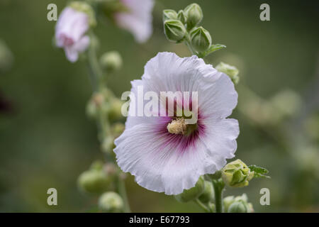 Pale pink mallow flower close up Althea - Stock Photo