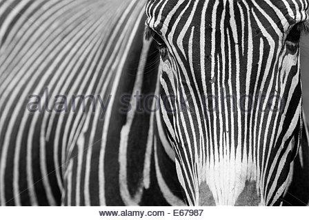 Grevy's zebra or Imperial zebra (Equus grevyi), Cabarceno Wildlife Park, Cantabria, Spain. - Stock Photo