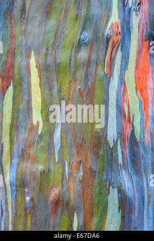 Colorful bark of the rainbow Eucalyptus (Eucalyptus deglupta) - Stock Photo