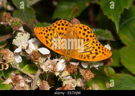 Male Silver washed fritillary, Argynnis paphia, nectaring on bramble flowers - Stock Photo