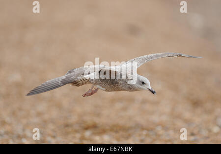Juvenile Herring Gull (Larus argentatus) in flight. Hastings, Sussex, UK. - Stock Photo