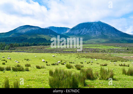 Sheep and lambs grazing on marshy pasture at the base of Beinn na Caillich, Strath Suardal, Isle of Skye,  Hebrides, - Stock Photo