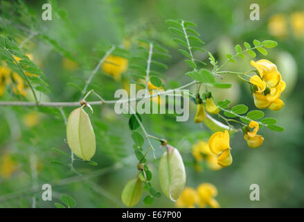Flowers and pods of bladder-senna (Colutea arborescens), a leguminous shrub grown as an ornamental plant. Bedgebury - Stock Photo