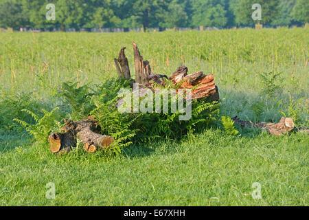 Bracken growing around a fallen tree trunk, Bushy Park, London, UK - Stock Photo