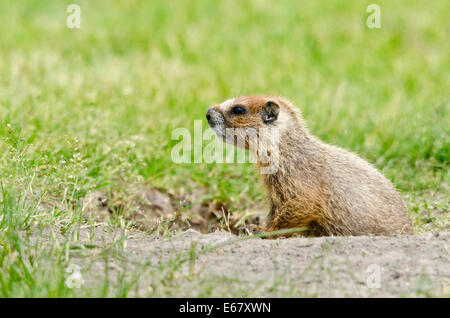 Young Yellow-bellied marmot at its burrow. - Stock Photo
