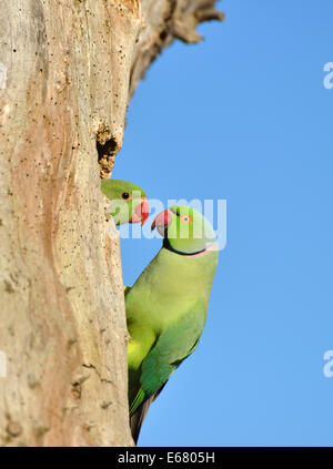 Ring necked (or rose ringed) parakeet feeding its young at the nest in a dead tree trunk, London, UK - Stock Photo