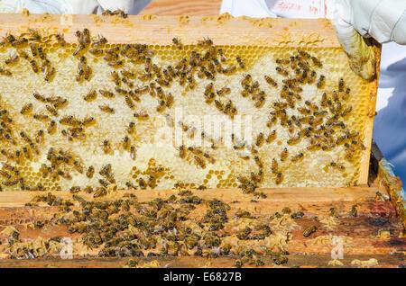 Bee keeping beekeeper hive honey bees at Arlo's Honey Farm, Kelowna,  British Columbia, Canada.