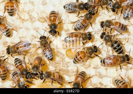 Honey bees on hive bee keeping at Arlo's Honey Farm, Kelowna,  British Columbia, Canada.