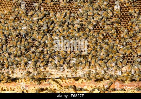 Honey bee hive at Arlo's Honey Farm, Kelowna,  British Columbia, Canada.