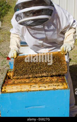 Bee keeping at Arlo's Honey Farm, Kelowna,  British Columbia, Canada.