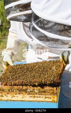 Bee keeping keepers with honey bee hives at Arlo's Honey Farm, Kelowna,  British Columbia, Canada.