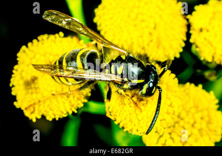Common Wasp Vespula vulgaris - Stock Photo