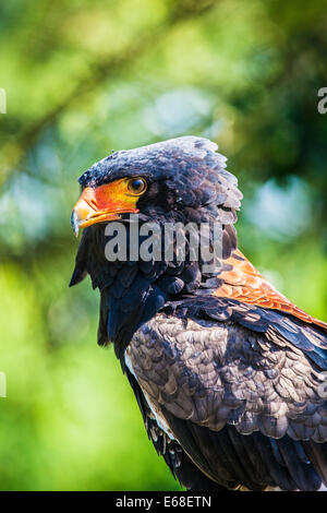 A bateleur eagle, Terathopius ecaudatus. - Stock Photo