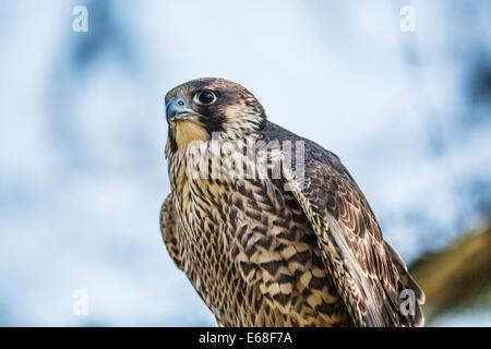 A peregrine falcon, Falco peregrinus - Stock Photo