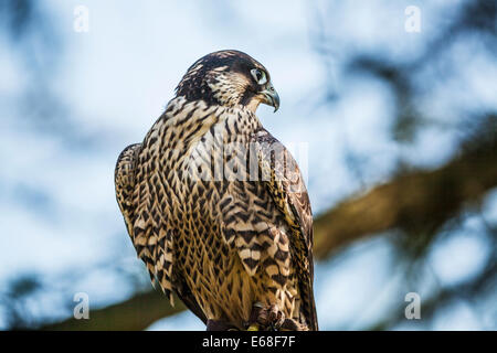 A captive peregrine falcon, Falco peregrinus - Stock Photo