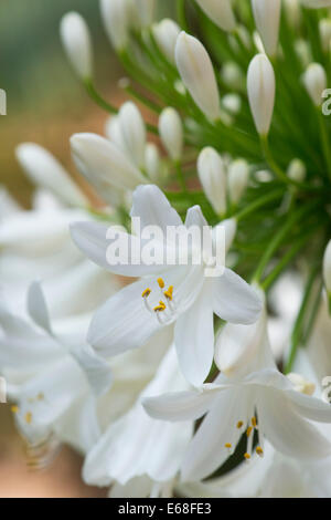Agapanthus 'peter franklin'. African lily. White Flowered Agapanthus