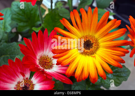 Brightly coloured gerbera daisies. - Stock Photo
