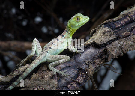 Juvenile plumed basilisk in the lowland tropical rainforests of Costa Rica. - Stock Photo