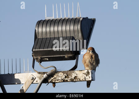 Nankeen or Australian kestrel perched on a floodlight post next to anti-bird spikes - Stock Photo