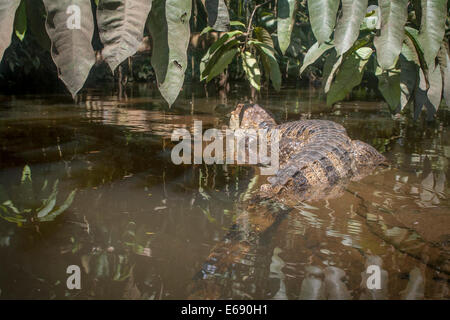 A spectacled caiman, Caiman crocodilus. - Stock Photo