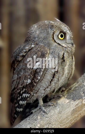 Eurasian Scops Owl (Otus scops), captive, Germany - Stock Photo